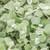 Proven Accents® White Licorice Plant Foliage