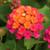Bandana Cherry Sunrise Lantana Flowers
