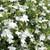 Laguna White Lobelia Flowers and Foliage Close Up