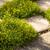 GoldDust® Mecardonia Growing Between Stepping Stones