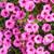 Supertunia Mini Vista Hot Pink Petunia Flowers and Foliage