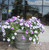 Supertunia Trailing Blue Veined Petunia in Commercial Planter
