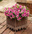 Supertunia® Trailing Strawberry Pink Veined Petunia in Patio Planter