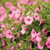 Supertunia Vista Bubblegum Petunia Flowers and Foliage