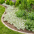 Supertunia Vista Snowdrift Petunia Mass Planted in the Garden