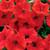 Surfinia® Deep Red Petunia Flowers Close Up