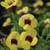 Catalina Gilded Grape Wishbone Flower Flowers and Foliage