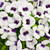 Catalina Grape-o-Licious Wishbone Flower blooming