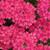 Superbena Raspberry Verbena blooms