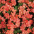 Superbena Peachy Keen Verbena blooms