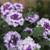 Superbena Sparkling Amethyst Verbena Flowers and Foliage