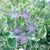 Variegated Vinca Vine Flowering
