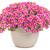 Superbells® Holy Cow!™ Calibrachoa blooming
