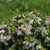 Low Scape Mound® Aronia Flowers and Foliage