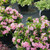 rhododendron_perfecto_mundo_double_pink