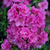 Perfecto Mundo® Double Purple Azalea Blooms Close Up