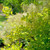 Winecraft Gold® Smokebush Foliage and Flowers in the Sunlight