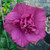Magenta Chiffon® Rose of Sharon flower closeup