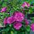 Magenta Chiffon® Rose of Sharon foliage and flowers