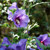 Paraplu Violet® Rose of Sharon flowers and flower buds