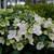 Fairytrail Bride™ Hydrangea flowers is blooming