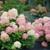 Fire Light Tidbit® Hydrangea blooms