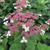 Invincibelle Lace™ Hydrangea flowers close up