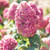 Limelight Prime® Hydrangea pink flowers