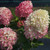 Quick Fire Fab® Hydrangea is blooming