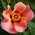 Ringo All-Star™ Rose flower closeup