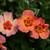 Ringo All-Star™ Rose shrub blooming