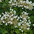 Flirty Girl™ False Hydrangea-Vine flowers