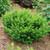 Stonehenge Dark Druid® Yew bush close up