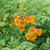 Chicklet™ Orange Tecoma Flowers and foliage