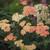 Firefly™ Peach Sky Yarrow flower closeup