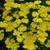 Firefly™ Sunshine Yarrow flower blooms