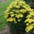 Upright Firefly™ Sunshine Yarrow plant blooming