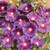 Halo Series Lavender Hollyhock flowers