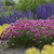 Bloodstone Thrift flowering