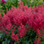 Montgomery Japanese Astilbe Flowers and foliage