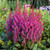 Visions Astilbe Flowers and foliage