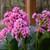 Miss Piggy Pigsqueak Plant Blooming