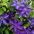 The President Clematis Vine Blooming