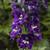 Delphina™ Dark Blue White Bee Larkspur flowers closeup