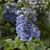 Delphina™ Light Blue White Bee Larkspur flower closeup