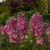 New Millennium™ Pink Punch Larkspur Flowers and foliage