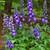 New Millennium™ Purple Passion Larkspur Flowers and foliage