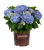 Big Daddy Hydrangea in Branded Pot