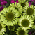 Green Jewel Coneflower Close Up
