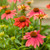 Color Coded™ Orange You Awesome Coneflower flowers and leaves